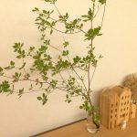 本当に長持ち!お部屋に枝物のグリーンを飾っておしゃれでキレイな空間を。